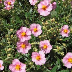 Helianthemum 'Lawrenson's Pink'- Zonneroosje