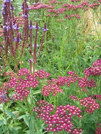 Achillea millefolium 'Summerwine' - Duizendblad