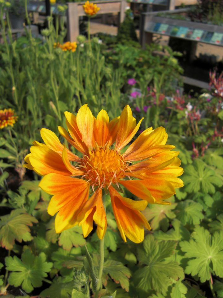 Gaillardia 'Orange and Lemons' - Kokardebloem, goblin