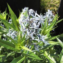 Amsonia tabernaemontana var. salicifolia - Stermaagdenpalm