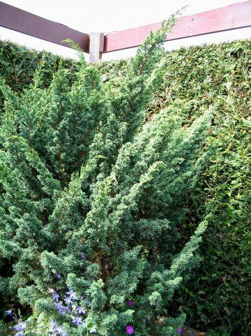 Juniperus chinensis 'Blaauw' - Jeneverbes
