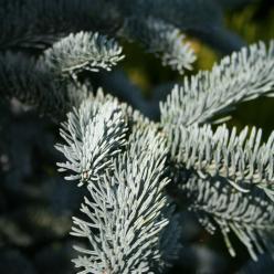 Abies procera 'Glauca' - Blauwspar, edele  zilverspar