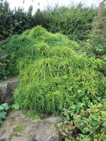 Chamaecyparis pisifera 'Filifera Aurea' - Schijn-cipres