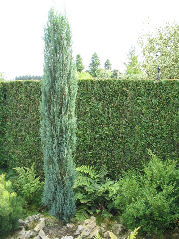 Juniperus scopulorum 'Blue Arrow' - Jeneverbes