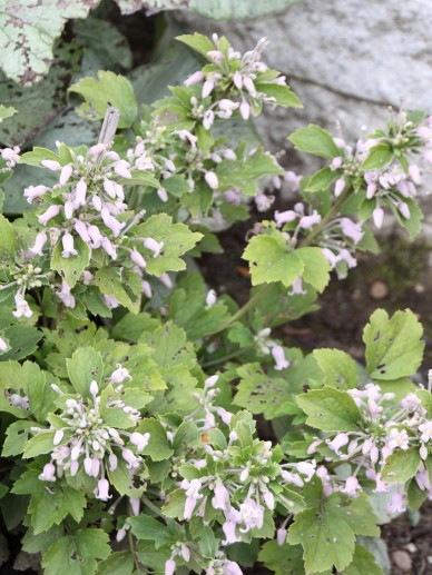 Clematis heracleifolia 'Pink Dwarf' - Struikclematis