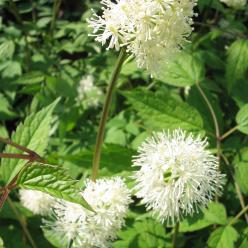 Actaea spicata - Christoffelkruid