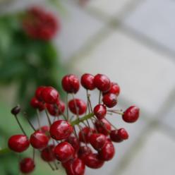 Actaea rubra - Christoffelkruid