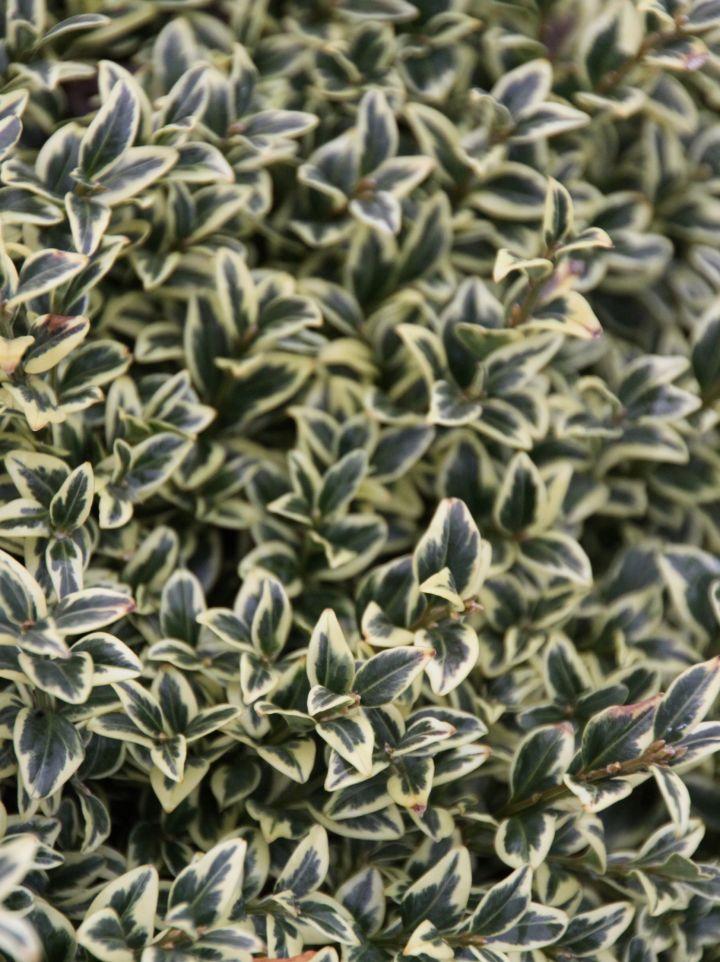 Buxus sempervirens 'Aureovariegata' - Bont palmboompje, buxus