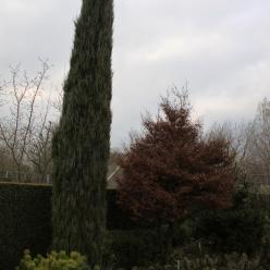 Juniperus scopulorum 'Blue Arrow' - Jeneverbes