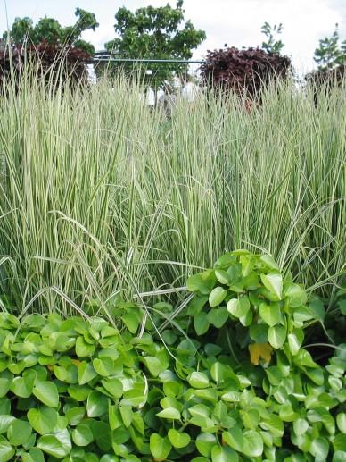 Calamagrostis x acutiflora 'Overdam' - Bont struisriet