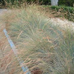 Festuca glauca - Blauw schapegras