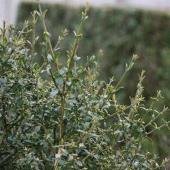 Buxus sempervirens 'Myosotidifolia' - Palmboompje