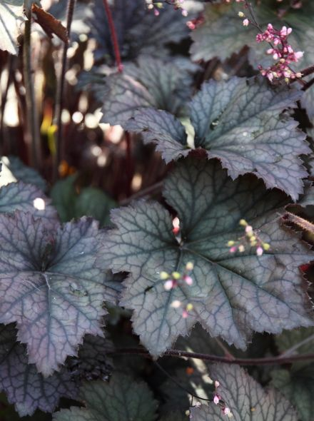 Heuchera 'Frosted Violet' (Purperklokje)