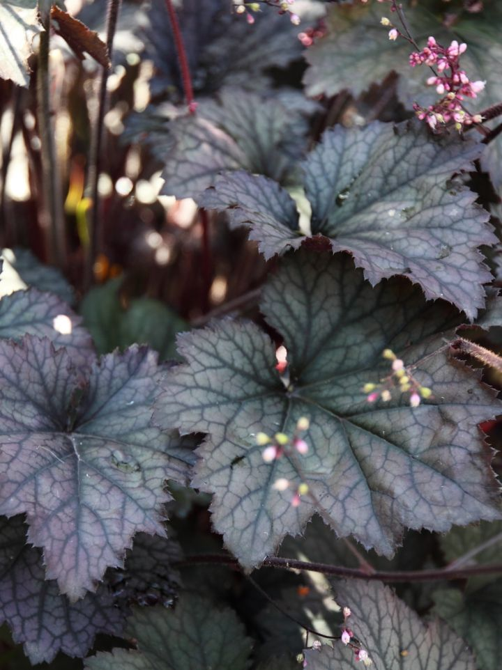 Heuchera 'Frosted Violet' - Purperklokje