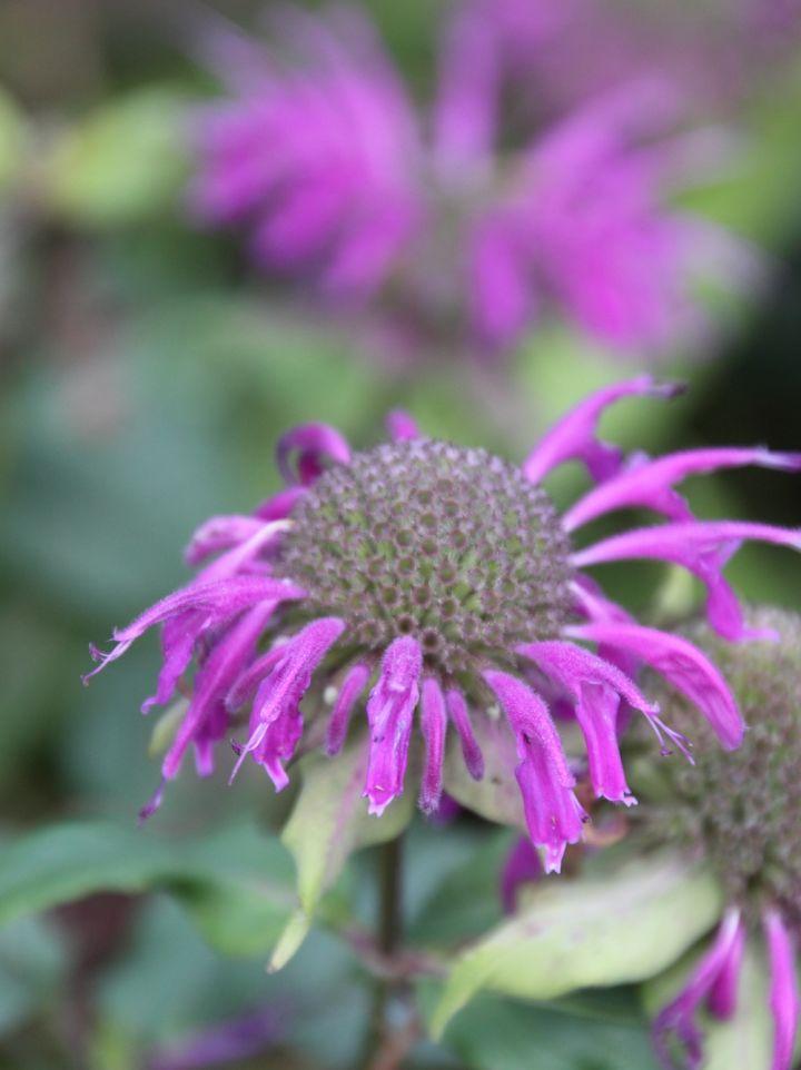 Monarda 'Blaustrumpf' - Bergamotplant