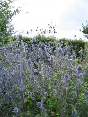 Eryngium planum 'Blauer Zwerg' - Blauwe distel, kruisdistel