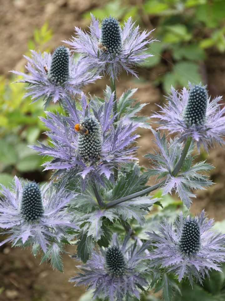 Eryngium alpinum 'Blue Star' - Alpenkruisdistel