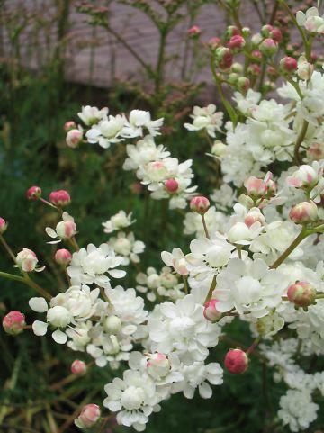 Filipendula vulgaris 'Multiplex' - Knolspirea