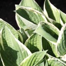Hosta 'Francee' - Hartlelie