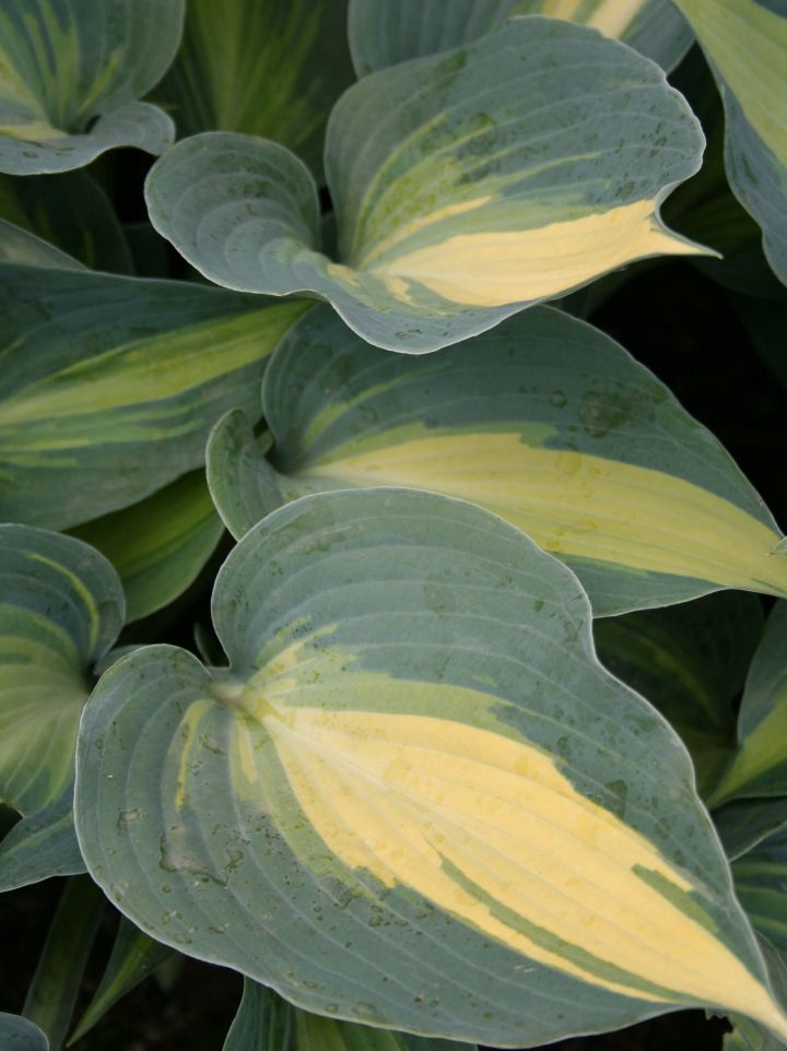 Hosta 'Touch of Class' - Hartlelie