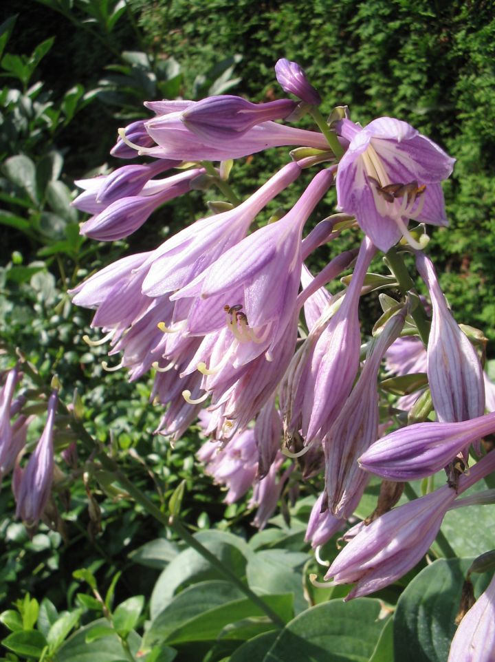 Hosta 'Blue Cadet' - Hartlelie