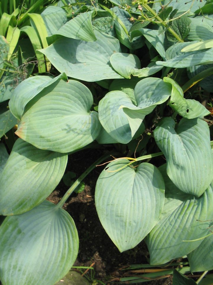 Hosta 'Fragrant Blue' - Hartlelie