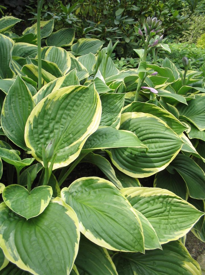Hosta 'Mildred Seaver' - Hartlelie