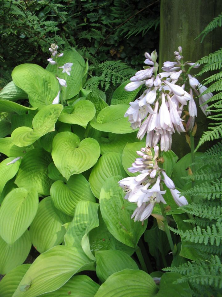 Hosta 'Zounds' - Hartlelie