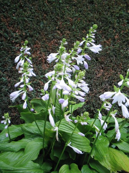 Hosta 'Honeybells' (Hartlelie)