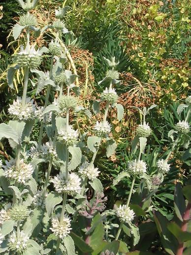 Marrubium incanum - Malrove