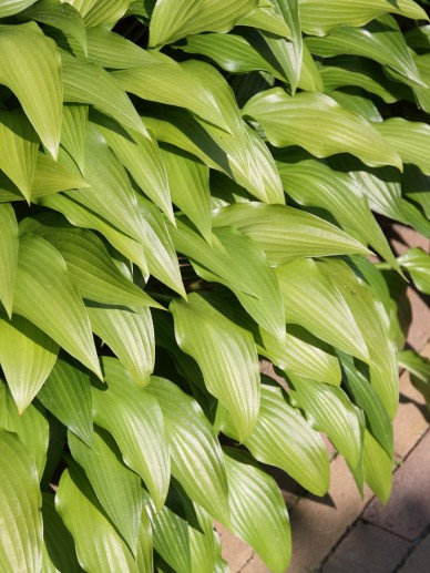 Hosta 'Lancifolia' - Hartlelie