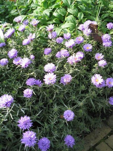Aster 'Lady in Blue' - Herfstaster