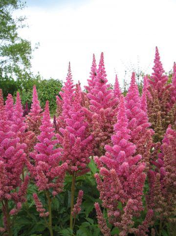 Astilbe 'Vision in Pink' - Pluimspirea, prachtspirea