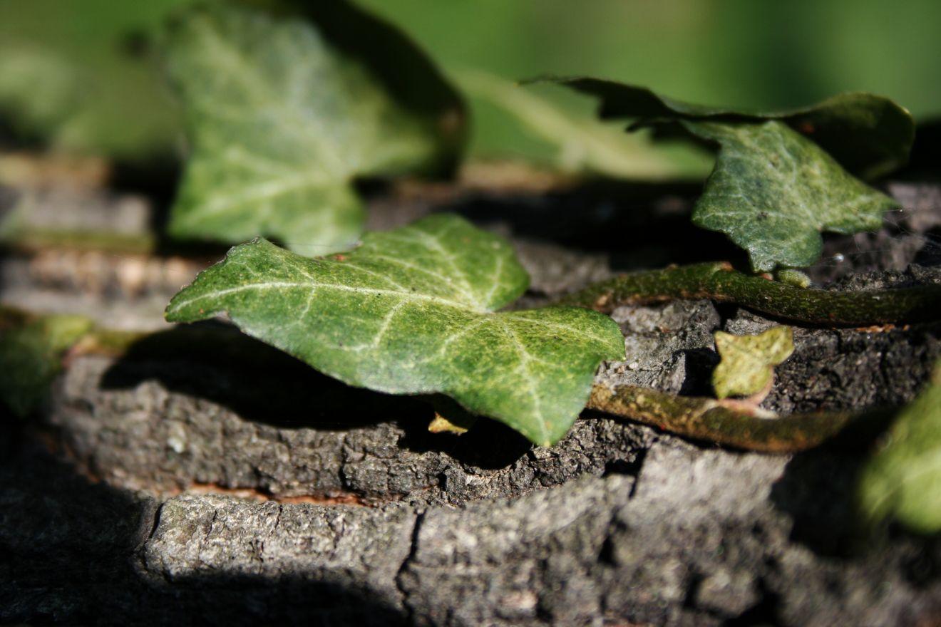 Hedera hibernica (Klimop)