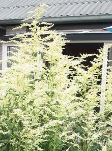 Artemissia lactiflora (Witte bijvoet)
