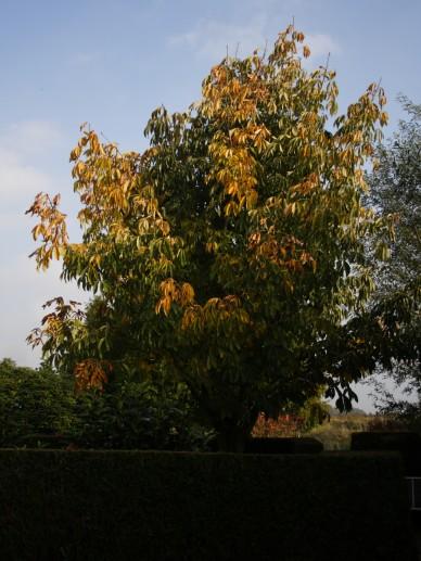 Aesculus flava 'Vestitia' - Gele pavia