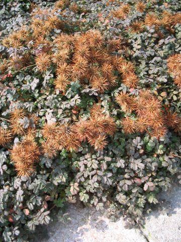 Acaena microphylla 'Kupferteppich' - Stekelnootje