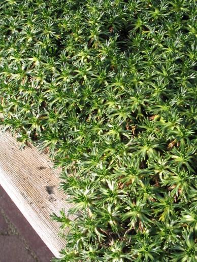 Azorella trifurcata - Andeskruid