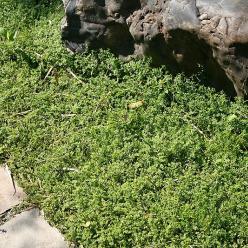 Herniaria glabra - Kaal breukkruid
