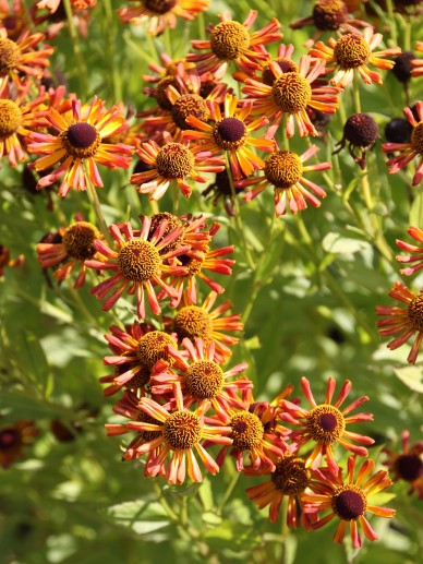 Helenium 'Wagon Wheel' - Zonnekruid
