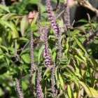 Elsholtzia stauntonii (Muntstruik)