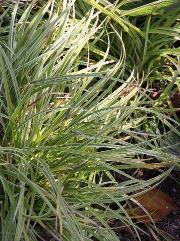 Carex 'Silver Sceptre' - Bonte zegge