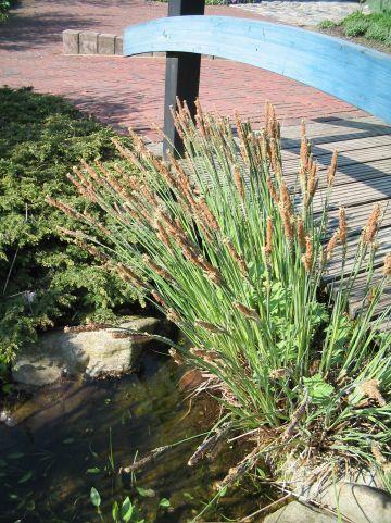 Carex nigra - Zwarte zegge