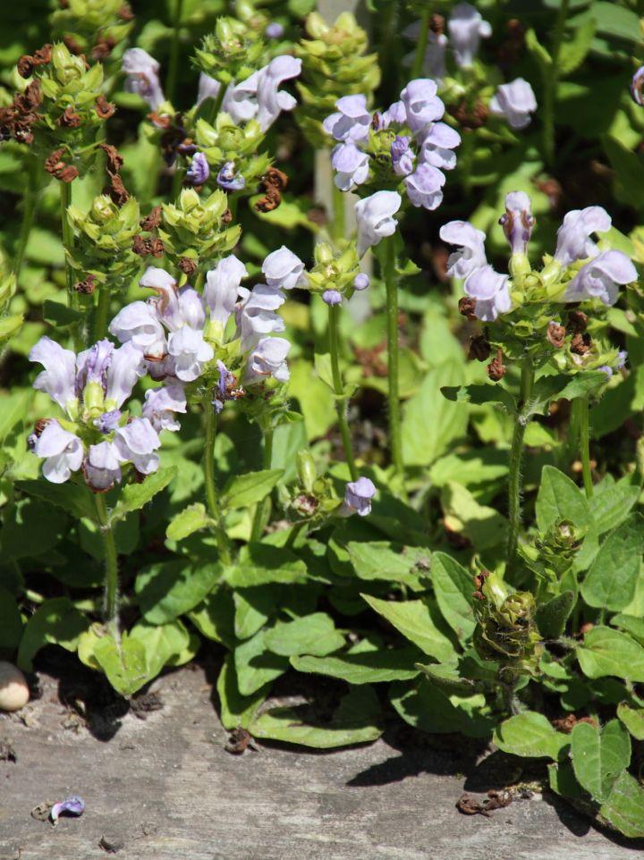 Prunella grandiflora 'Loveliness' - Bijenkorfje, brunel