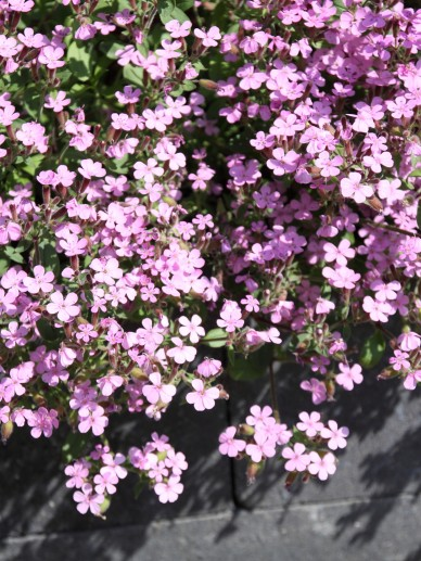 Erodium manescavii - Reigersbek