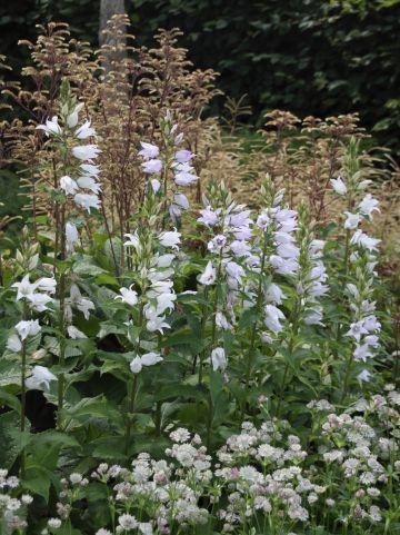 Campanula trachelium 'Faichem Lilac' - Ruig klokje