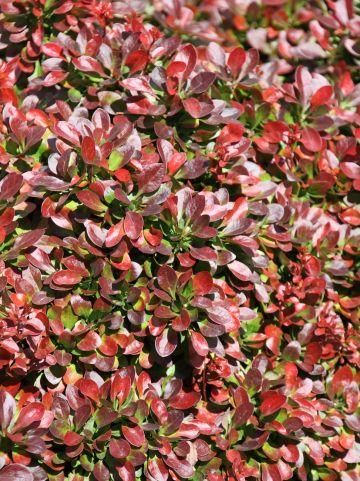 Berberis thunbergii 'Atropurpurea Nana' - Zuurbes
