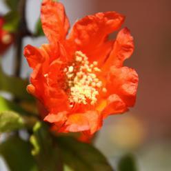 Punica granatum - Granaatappel