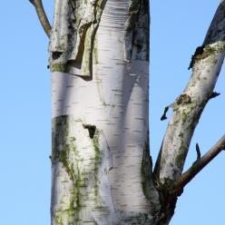 Betula utilis subsp. jacquemontii - Witte Himalayaberk