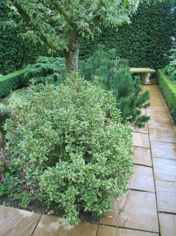 Osmanthus heterophyllus 'Goshiki' - Schijnhulst